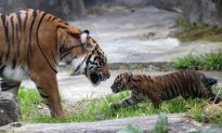 Save Genetic Diversity to Save Tigers