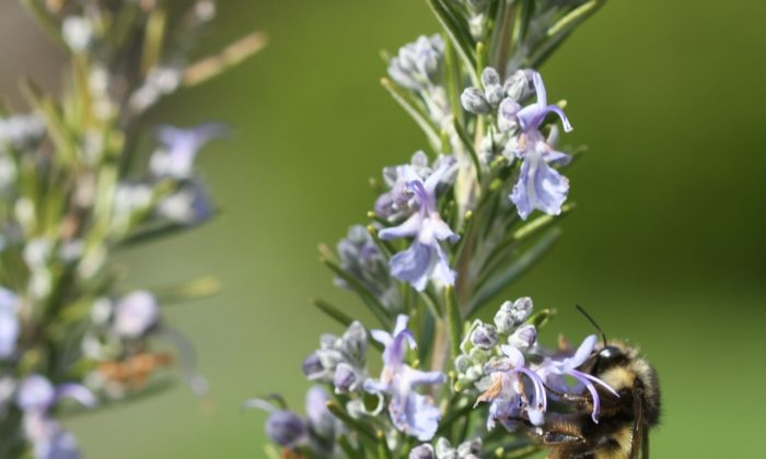 This March 24, 2014 photo shows a bumblebee on Rosemary blooms on a residential property in Langley, Wash. Honeybee numbers are dropping so steeply that some species are believed extinct. Gardeners can help by adding plants that flower both early and late in the season like these Rosemary blooms. (AP Photo/Dean Fosdick)