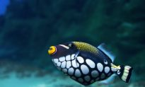 Lost in an Acid Sea: A Fish's Sense of Smell
