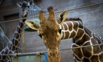 The Shooting of Marius the Giraffe: Cruel When Not Kind