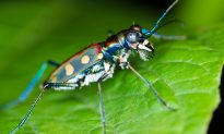 To Chase Prey, Tiger Beetles Do a Superfast Dance