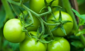 Green Tomato Compound Fights Muscle Atrophy