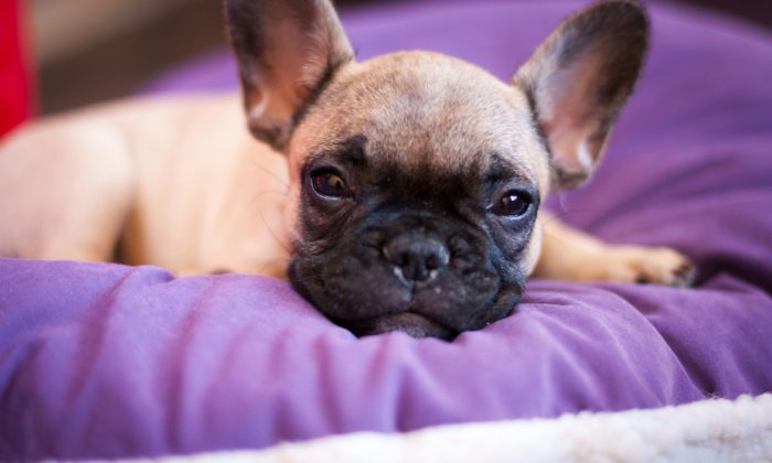 Puppy French bulldog. (*Shutterstock)