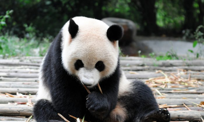 Panda eating bamboo (*Shutterstock)