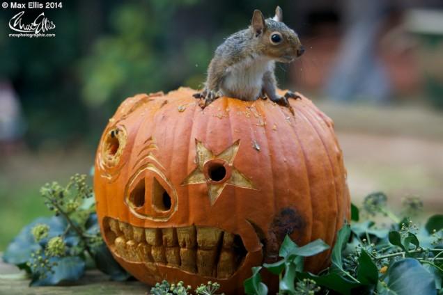 Halloween squirrel (Max Ellis)