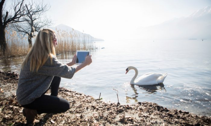 A file photo of a woman taking a photo of a swan on her tablet. An interactive, global, online map helps gather data about local ecosystems, which is useful not only for understanding the ecosystems but also for helping people tailor their gardens to the ecological needs of their region and share best practices.