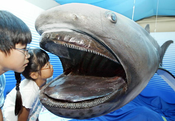 Children peer into a stuffed specimen of a 4.2-meter-long megamouth shark at Tokai University Marine Science Museum in Sizuoka, 200km west of Tokyo, 18 August 2004. The unique species of shark is one of only 21 of its type that have been caught since 1976 off Hawaii. The world's first stuffed megamouth, which was caught 07 August 2003 near Shizuoka, is on display until 31 August at the museum. AFP PHOTO/Toru YAMANAKA (Photo credit should read TORU YAMANAKA/AFP/Getty Images)