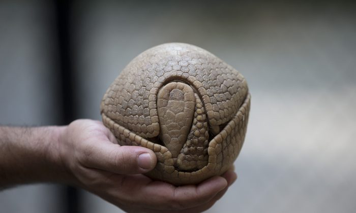 In this May 21, 2014, photo Biologist Rodrigo Cerqueira holds an armadillo, named Ana Botafogo in honor of the Brazilian dancer, at the Rio Zoo in Rio de Janeiro, Brazil. The three-banded armadillo is in danger of extinction, largely because of deforestation and hunting in its habitat in the shrub lands of northeastern Brazil. Those risks in large part are why the armadillo was chosen as the World Cup mascot. Another is that when it's frightened, it rolls up into a ball small enough to fit into one hand, looking like a tan soccer ball. (AP Photo/Silvia Izquierdo)