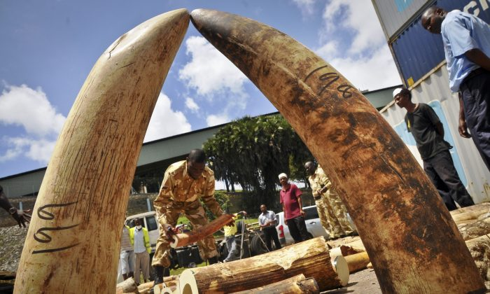 In this Tuesday, Oct. 8, 2013 file photo, Kenyan officials display some of more than 1,600 pieces of illegal ivory found hidden inside bags of sesame seeds in freight traveling from Uganda, in Kenya's major port city of Mombasa, Kenya. A Kenyan court sentenced a Chinese man Tang Yong Jian on Tuesday, Jan. 28, 2014 to seven years in jail, or a fine of about US$230,000, for ivory smuggling in the first case since the country passed a stringent new law to deter illegal trading in wildlife products. (AP Photo)