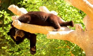 Orphaned Bear Cubs Out and About in India