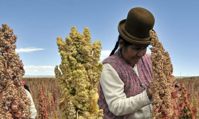 A Bolivian Aymara person inspects a quinoa plant during a visit to the so-called Quinoa Route in the Bolivian Andes, on April 8, 2013. (Aizar Raldes/AFP/Getty Images)