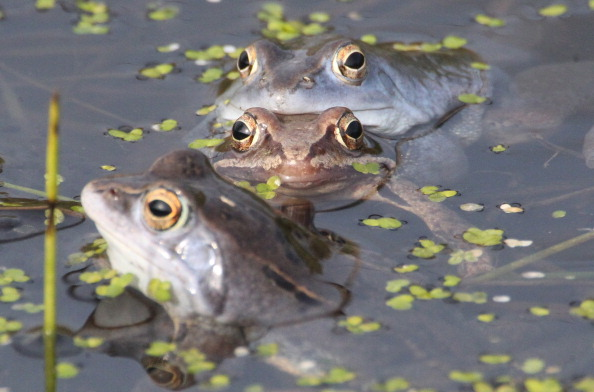 Moor frogs sit in a pond during spawning season on April 1, 2014 in Leipzig, eastern Germany. Due to drainage of moors and wetlands, the habitat of the species is getting smaller. (Sebastian Willnow/AFP/Getty Images)
