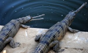 Endangered Gharials Tagged To Save Species