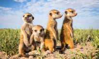 Photos of Meerkats Because They're Cute, Playful, Fun to Watch (Photo Gallery, +Video)