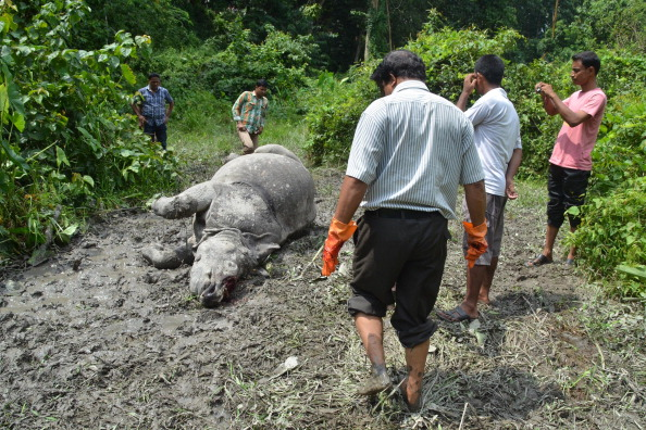 Indian forest officials stand near the body of a one horned horn Rhinoceros, which was killed and de-horned by poachers at Burapahar in Kaziranga National Park, some 250kms east of Guwahati on August 21, 2013. (STRDEL/AFP/Getty Images)