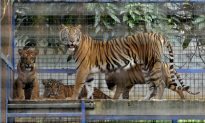 Twelve Young Tigers Spotted in India