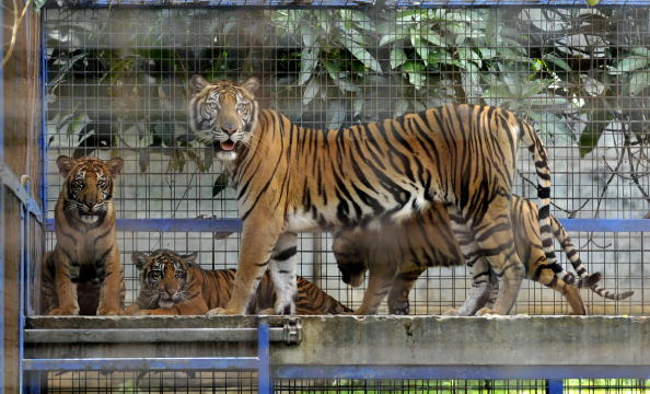 A cage holding a female tiger with its three cubs is seen during a joint rescue operation by wildlife authorities and conservation groups at a sprawling residential compound of a local businessman in Depok district outside Jakarta on February 20, 2010. (Romeo Gacad/AFP/Getty Images)