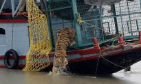 Six New Tigers Spotted in Sunderbans