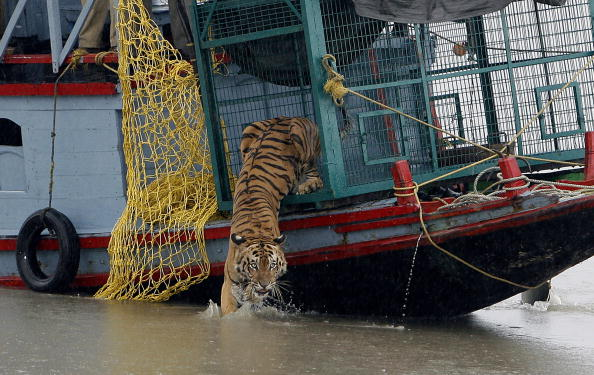 A male Royal Bengal Tiger leaps into the water after it was released from a forest department boat on the River Harikhali in The Sunderbans delta forest, some 150kms south of Kolkata, on July 22, 2009.(STR/AFP/Getty Images)