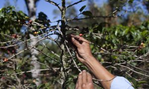 Coffee Rust Fungus: High-End Blends' Prices Raised Over Rust Fungus