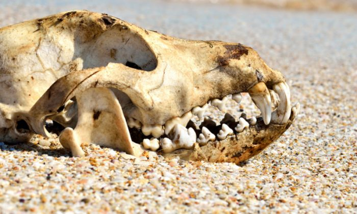 A file photo of a dog skull. (Shutterstock*)