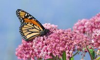 How Your Bedding Could Save Monarch Butterflies