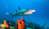 Scientists Focusing on the Wrong Sharks in the Wrong Places