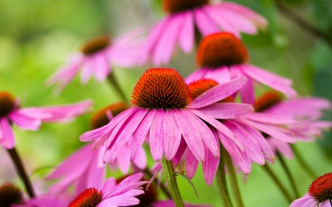 Echinacea (Shutterstock*)