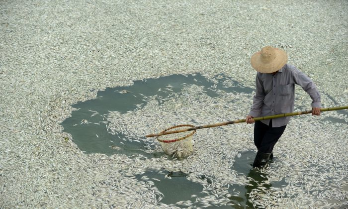 A resident clears dead fish from the Fuhe River in Wuhan, in central China's Hubei Province on Sept. 3, 2013, after large numbers of fish died of severely high levels of ammonia. Recent official reports say that China's river and underground water supplies are severely polluted. (STR/AFP/Getty Images)