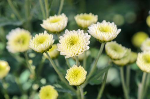 White Chrysanthemum morifolium flowers. (yongkiet/thinkstock)