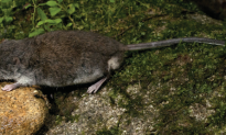 New Rodent Species Found in Indonesia