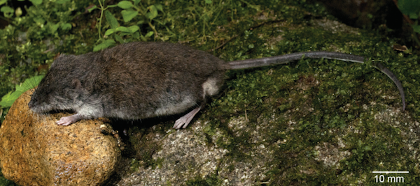 The first specimen of Waiomys mamasae ever seen by scientists. (Photo by Kevin C. Rowe)