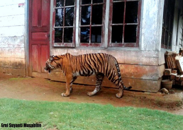 Sumatran tiger in an Indonesian village. (Erni Suyanti Musabine)