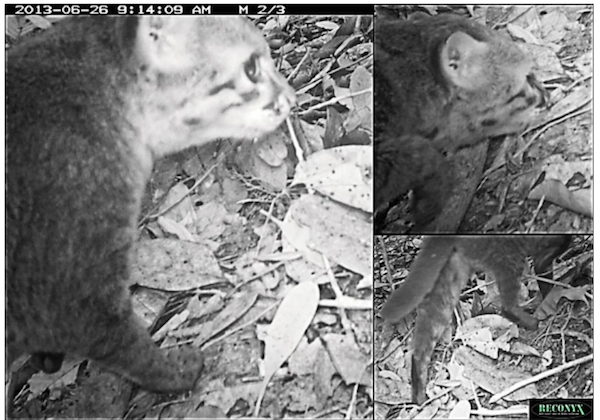 Composite of three camera trap images of one of the flat-headed cats detected in Pasoh Forest Reserve, Peninsular Malaysia, in June 2013, showing details of ear shape and tail. Photos by Tropical Ecological Assessment and Monitoring Network (TEAM).
