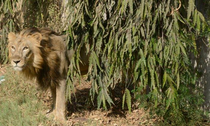 Seven year old Asiatic lion, Ambar looks on from inside his open enclosure at the Kamla Nehru Zoological Garden in Ahmedabad on April 20, 2013. (Sam Panthaky/AFP/Getty Images)