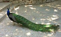 Peacock Killings Rattle Suburban Los Angeles Neighborhood