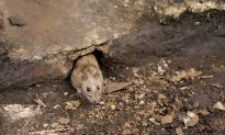 Could NYC Rats Be a Harbor for the Plague?