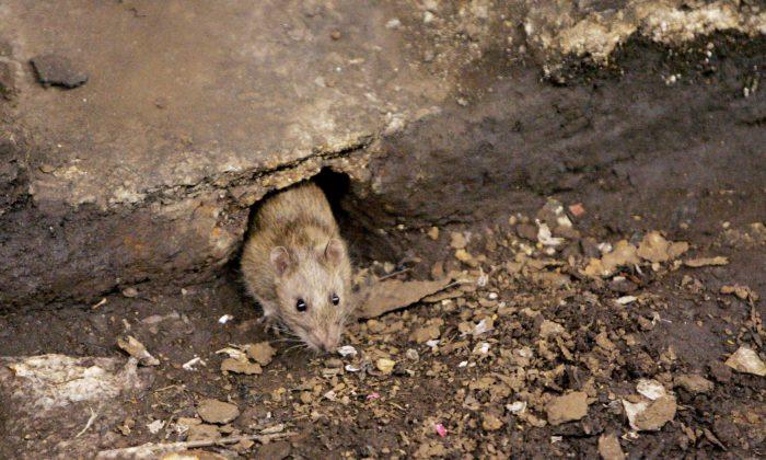 A rat comes out of its hole at the F subway stop in Brooklyn, New York, in this file photo. (AP Photo Photo/Julie Jacobson)