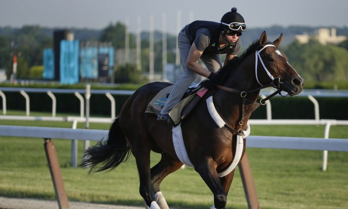 Commanding Curve takes a lap with exercise rider Emerson Chavez up during a workout at Belmont Park Tuesday, June 3, 2014, in Elmont, N.Y. Commanding Curve will be one of several challengers looking to spoil California Chrome's bid at a Triple Crown when they race in the 146th running of the Belmont Stakes on Saturday. (AP Photo/Julie Jacobson)