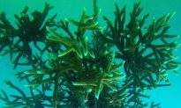 Coral Restoration: Nursery Farming and Replanting Menaced Species