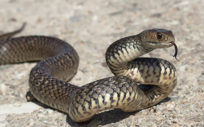 A file photo of an eastern brown snake, the world's deadliest. A 3-year-old in Australia found some snake eggs and kept them in his closet. They hatched into eastern browns. (Shutterstock*)