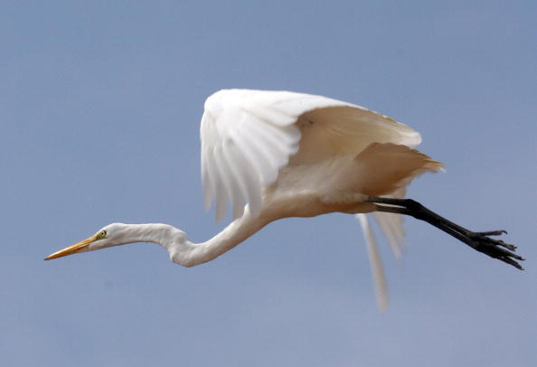 A Great Egret flyes from a hill near Malibu Beach 11 October 2006. (Gabriel Bouys/AFP/Getty Images)