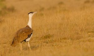 Endangered Great Indian Bustard Has A Chance