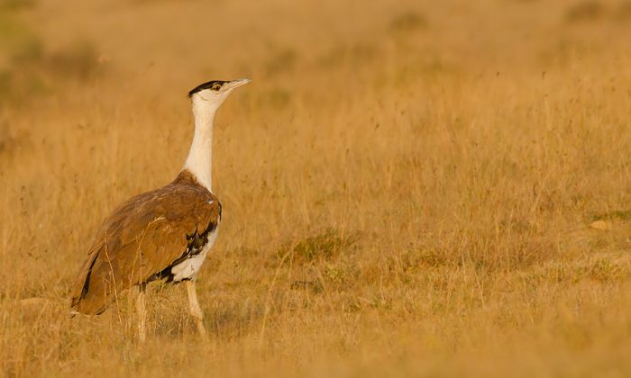 Great Indian Bustard (http://commons.wikimedia.org/wiki/File:Great_Indian_bustard.jpg)