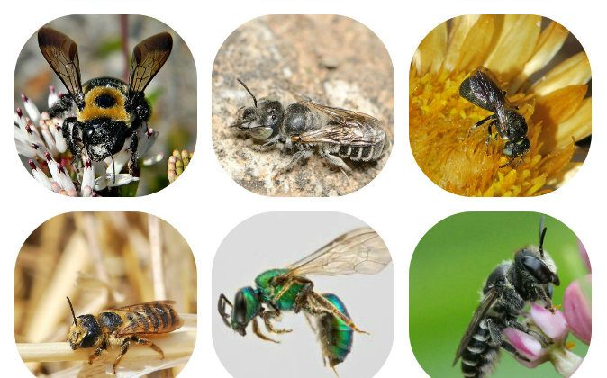 Solitary Bees. Common to New York and other places. From left to right, top to bottom: Eastern carpenter bee (Xylocopa virginica), Hoplitis (homalocera), Ceratina (dentivrentis), Megachile (albisecta), Pure-green sweat bee, Megachile (rotundata).