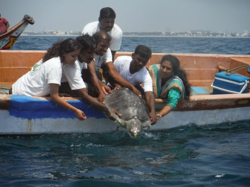 Volunteers of an NGO release an Olive Ridley Turtle back to the sea after it beached on the shores having lost its flipper to a trawl boat (courtesy ofThe Students Turtle Conservation Network (STCN))