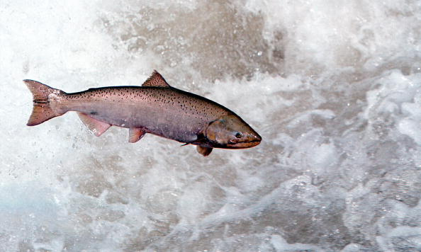 A Chinook Salmon Leaps Through White Water May 17, 2001 In The Rapid River In Idaho As It Attempts To Clear A Migration Barrier Dam.(Photo By Bill Schaefer/Getty Images)