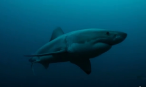 Something In The Ocean Eats Great White Sharks (Video)
