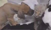 Puppy and Cheetah Cub Become Best Friends (Video)