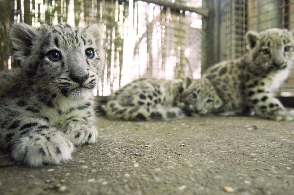 Three new born snow leopards lay in their hutch on August 8, 2012 at the Szeged zoo, 170 km south of Budapest. (Csaba Segesvari/AFP/GettyImages)